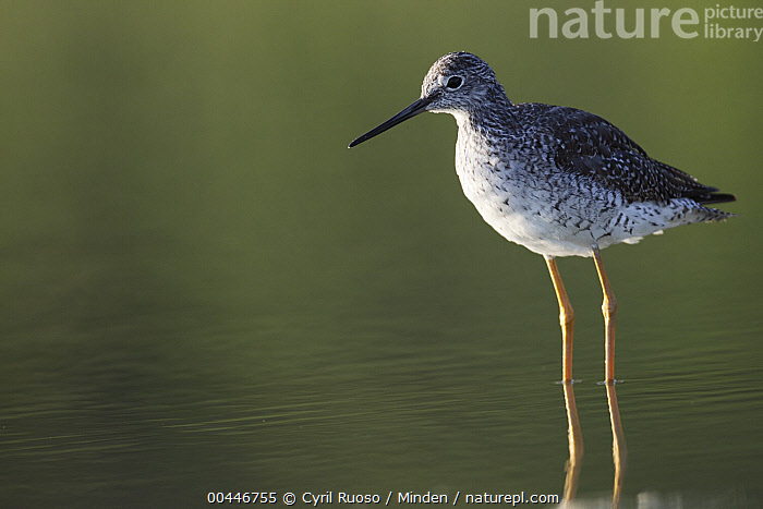 Lesser Yellowlegs (Tringa flavipes) in shallow water, southern Texas  ,  Adult, Color Image, Day, Horizontal, Lesser Yellowlegs, Nobody, One Animal, Outdoors, Photography, Shallow Water, Shorebird, Side View, Texas, Three Quarter Length, Tringa flavipes, Wildlife,Lesser Yellowlegs,Texas, USA  ,  Cyril Ruoso