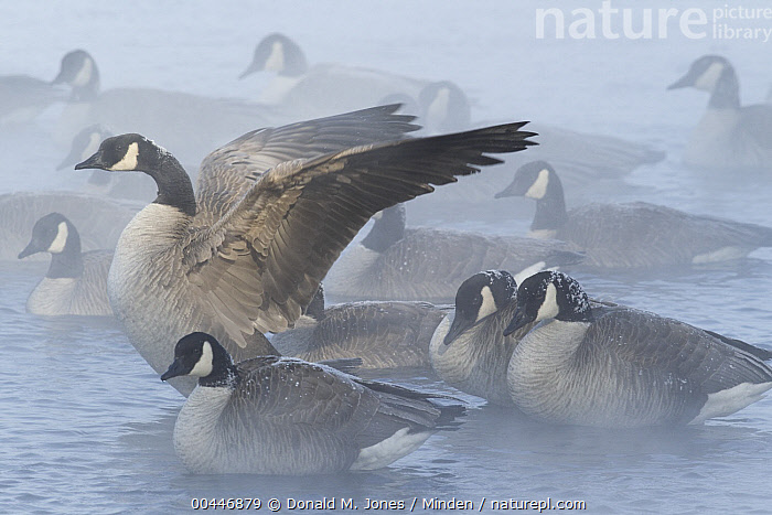 Canada Goose (Branta canadensis) resting during sub-zero weather on Missouri River, central Montana, Adult, Branta canadensis, Canada Goose, Cold, Color Image, Day, Full Length, Horizontal, Medium Group of Animals, Missouri River, Mist, Montana, Nobody, Outdoors, Photography, Resting, Side View, Spreading Wings, Waterfowl, Wildlife,Canada Goose,Montana, USA, Donald M. Jones