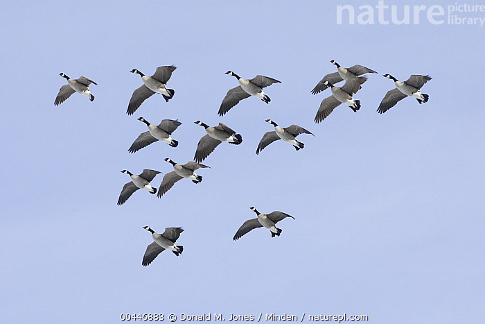 Canada Goose (Branta canadensis) flying in formation, central Montana, Adult, Branta canadensis, Canada Goose, Color Image, Day, Flock, Flying, Formation, Full Length, Horizontal, Large Group of Animals, Low Angle View, Migrating, Montana, Nobody, Outdoors, Photography, Side View, Waterfowl, Wildlife,Canada Goose,Montana, USA, Donald M. Jones