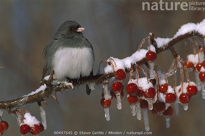Dark-eyed Junco (Junco hyemalis) on branch with frozen berries, North America  ,  Adult, Berry, Color Image, Dark-eyed Junco, Day, Front View, Frozen, Full Length, Horizontal, Junco hyemalis, Nobody, North America, One Animal, Outdoors, Photography, Red, Side View, Songbird, Wildlife, Winter,Dark-eyed Junco,North America  ,  Steve Gettle