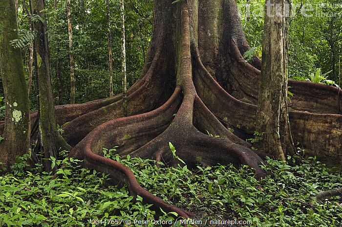 Buttress roots (Ficus sp.)in rainforest, Cocaya River, eastern Amazon, Ecuador  ,  Amazon, Buttress Root, Cocaya River, Color Image, Day, Ecuador, Ficus sp, Horizontal, Landscape, Nobody, Outdoors, Photography, Rainforest, Tree,Ecuador  ,  Pete Oxford