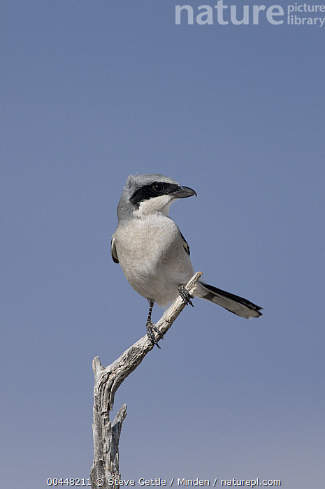 Loggerhead Shrike (Lanius ludovicianus), Bosque Del Apache National Wildlife Refuge, New Mexico  ,  Adult, Bosque del Apache National Wildlife Refuge, Color Image, Day, Front View, Full Length, Lanius ludovicianus, Loggerhead Shrike, New Mexico, Nobody, One Animal, Outdoors, Photography, Songbird, Vertical, Wildlife,Loggerhead Shrike,New Mexico, USA  ,  Steve Gettle