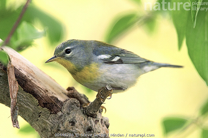 Northern Parula (Setophaga americana), Crane Creek State Park, Ohio  ,  Color Image, Crane Creek State Park, Day, Full Length, Horizontal, Nobody, Northern Parula, Ohio, One Animal, Outdoors, Photography, Setophaga americana, Side View, Songbird, Wildlife,Northern Parula,Ohio, USA  ,  Steve Gettle