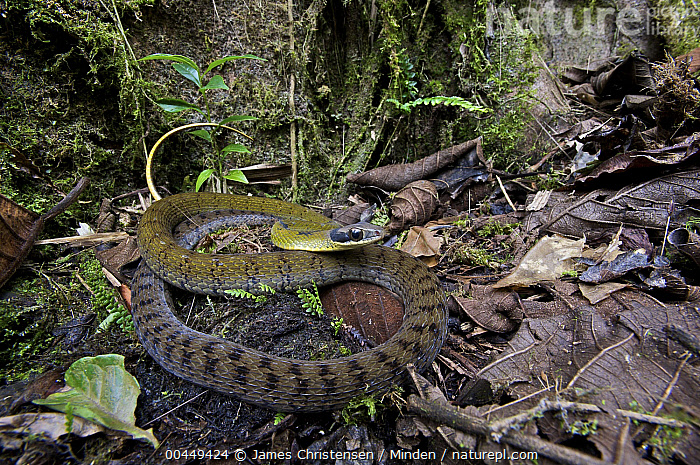 Black-naped Forest Racer (Dendrophidion nuchale), Mindo, Ecuador  ,  Adult, Black-naped Forest Racer, Color Image, Day, Dendrophidion nuchale, Ecuador, Full Length, Horizontal, Mindo, Nobody, One Animal, Outdoors, Photography, Side View, Wildlife,Black-naped Forest Racer,Ecuador  ,  James Christensen