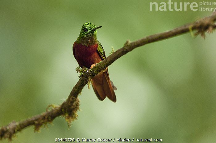 Chestnut-breasted Coronet (Boissonneaua matthewsii) hummingbird, Ecuador  ,  Adult, Boissonneaua matthewsii, Chestnut-breasted Coronet, Color Image, Day, Ecuador, Front View, Full Length, Horizontal, Hummingbird, Nobody, One Animal, Outdoors, Photography, Wildlife,Chestnut-breasted Coronet,Ecuador  ,  Murray Cooper