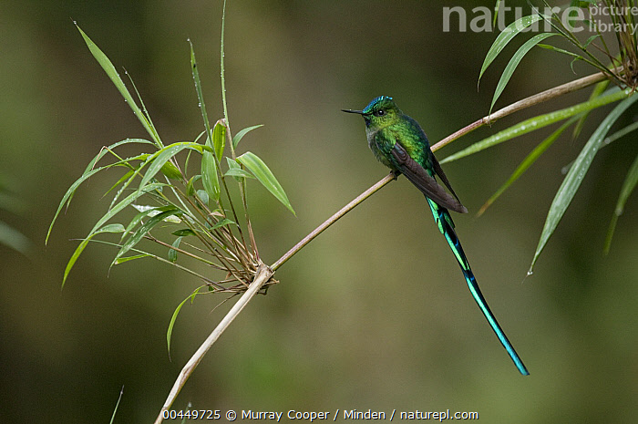 Long-tailed Sylph (Aglaiocercus kingi) male, Ecuador  ,  Adult, Aglaiocercus kingi, Color Image, Day, Ecuador, Full Length, Horizontal, Hummingbird, Long-tailed Sylph, Male, Nobody, One Animal, Outdoors, Photography, Side View, Wildlife,Long-tailed Sylph,Ecuador  ,  Murray Cooper
