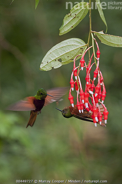 Chestnut-breasted Coronet (Boissonneaua matthewsii) hummingbird pair fighting over territory, Ecuador  ,  Adult, Blurred Motion, Boissonneaua matthewsii, Chestnut-breasted Coronet, Color Image, Competition, Day, Ecuador, Fighting, Flower, Flying, Full Length, Hanging, Hummingbird, Nobody, Outdoors, Photography, Side View, Territorial, Two Animals, Vertical, Wildlife,Chestnut-breasted Coronet,Ecuador  ,  Murray Cooper