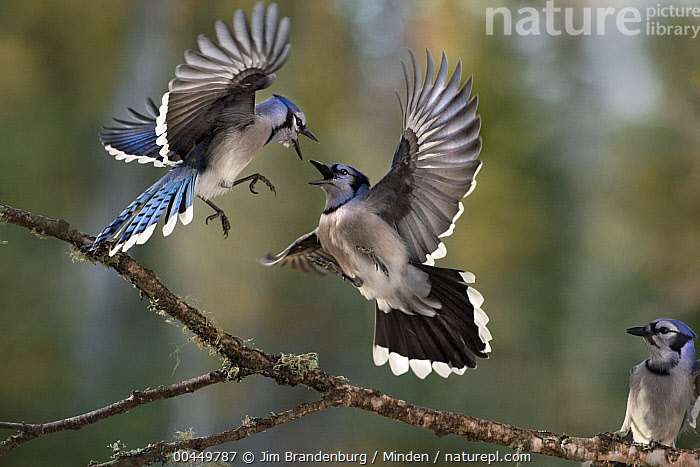 Blue Jay (Cyanocitta cristata) pair fighting while a third watches, Minnesota, Adult, Blue Jay, Color Image, Competition, Cyanocitta cristata, Day, Fighting, Flying, Full Length, Horizontal, Interacting, Minnesota, Motion, Nobody, Open Mouth, Outdoors, Photography, Side View, Two Animals, Watching, Wildlife, Jim Brandenburg