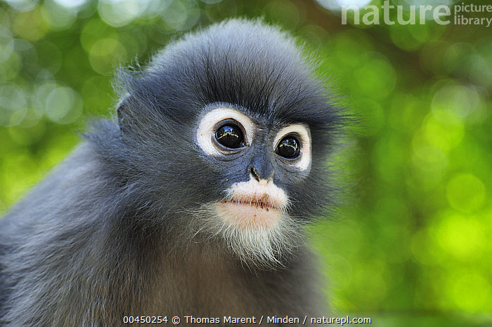 Dusky Leaf Monkey (Trachypithecus obscurus) young, Khao Sam Roi Yot National Park, Thailand  ,  Baby, Color Image, Cute, Day, Dusky Leaf Monkey, Front View, Head and Shoulders, Horizontal, Khao Sam Roi Yot National Park, Nobody, One Animal, Outdoors, Photography, Portrait, Side View, Thailand, Trachypithecus obscurus, Wildlife, Young,Dusky Leaf Monkey,Thailand  ,  Thomas Marent