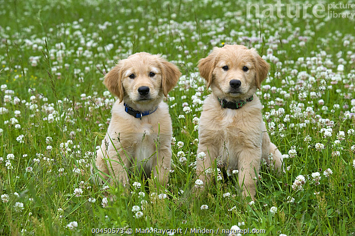 Golden Retriever (Canis familiaris) puppies, Baby, Canis familiaris, Color Image, Day, Domestic Dog, Front View, Full Length, Golden Retriever, Horizontal, Looking at Camera, Nobody, Outdoors, Photography, Puppy, Two Animals,Golden Retriever, Mark Raycroft