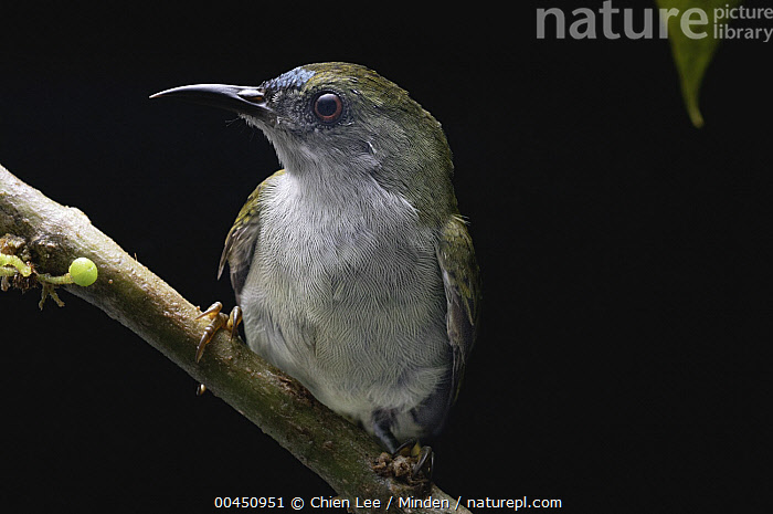 Plain Sunbird (Anthreptes simplex), Malaysia  ,  Adult, Anthreptes simplex, Captive, Color Image, Day, Front View, Full Length, Horizontal, Malaysia, Nobody, One Animal, Outdoors, Photography, Plain Sunbird, Songbird, Wildlife,Plain Sunbird,Malaysia  ,  Chien Lee