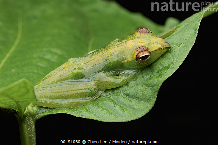 Jade Treefrog (Rhacophorus dulitensis), Danum Valley Conservation Area, Malaysia  ,  Adult, Camouflage, Color Image, Danum Valley Conservation Area, Day, Full Length, Green, Horizontal, Jade Treefrog, Malaysia, Nobody, One Animal, Outdoors, Photography, Rhacophorus dulitensis, Side View, Wildlife,Jade Treefrog,Malaysia  ,  Chien Lee