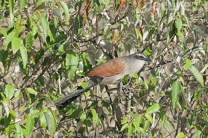 White-browed Coucal (Centropus superciliosus), Kenya  ,  Adult, Centropus superciliosus, Color Image, Day, Full Length, Horizontal, Kenya, Nobody, One Animal, Outdoors, Photography, Side View, White-browed Coucal, Wildlife,White-browed Coucal,Kenya  ,  Tui De Roy