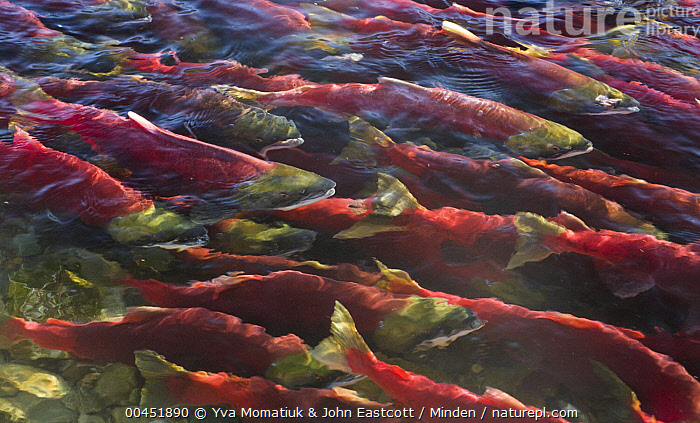 Sockeye Salmon (Oncorhynchus nerka) group swimming close to surface during spawning run, Adams River, Roderick Haig-Brown Provincial Park, British Columbia, Canada, Adams River, Adult, Breeding Color, British Columbia, Canada, Color Image, Conformity, Day, Full Length, High Angle View, Horizontal, Large Group of Animals, Migrating, Migration, Nobody, On The Move, Oncorhynchus nerka, Outdoors, Photography, Red, Roderick Haig-Brown Provincial Park, Salmon, Side View, Sockeye Salmon, Spawning, Swimming, Unison, Wildlife,Sockeye Salmon, , ,Canada, Yva Momatiuk & John Eastcott