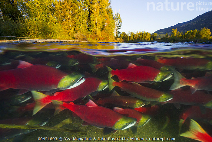 Sockeye Salmon (Oncorhynchus nerka) group swimming upstream between forested banks during spawning run, Adams River, Roderick Haig-Brown Provincial Park, British Columbia, Canada, Adams River, Adult, Animal in Habitat, Breeding Color, British Columbia, Canada, Color Image, Conformity, Day, Full Length, Half and Half, Horizontal, Medium Group of Animals, Migrating, Migration, Nobody, On The Move, Oncorhynchus nerka, Outdoors, Photography, Red, Roderick Haig-Brown Provincial Park, Salmon, Side View, Sockeye Salmon, Spawning, Split-view, Swimming, Underwater, Wildlife,Sockeye Salmon,Canada, Yva Momatiuk & John Eastcott
