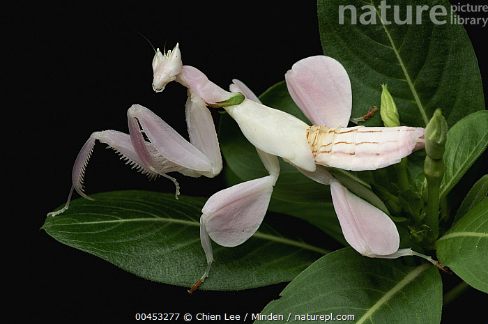 Orchid Mantis (Hymenopus coronatus) juvenile mimics flower, Jakarta, Java, Indonesia  ,  Camouflage, Captive, Color Image, Day, Flower, Full Length, Horizontal, Hymenopus coronatus, Indonesia, Jakarta, Java, Juvenile, Looking at Camera, Mimic, Mimicking, Nobody, One Animal, Orchid Mantis, Outdoors, Photography, Side View, Wildlife,Orchid Mantis,Indonesia  ,  Chien Lee