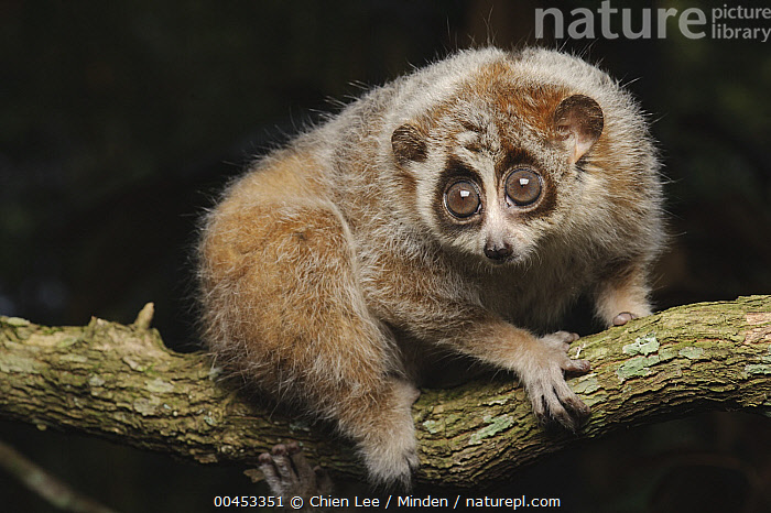 Pygmy Slow Loris (Nycticebus pygmaeus), Cuc Phuong National Park, Ninh Binh, Vietnam, Adult, Bizarre, Captive, Color Image, Cuc Phuong National Park, Day, Full Length, Horizontal, Ninh Binh, Nocturnal, Nobody, Nycticebus pygmaeus, One Animal, Outdoors, Photography, Pygmy Slow Loris, Side View, Threatened Species, Vietnam, Vulnerable Species, Wildlife,Pygmy Slow Loris,Vietnam, Chien Lee