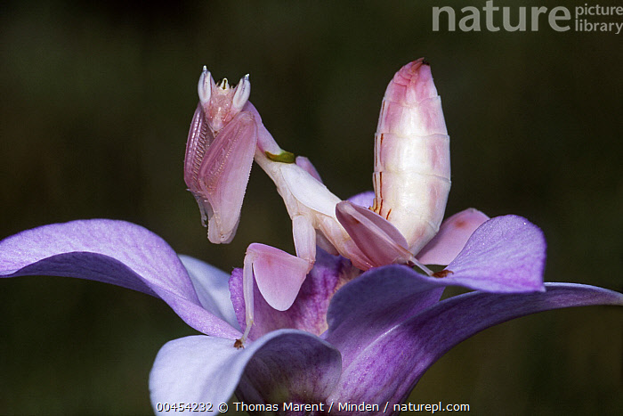 Orchid Mantis (Hymenopus coronatus) camouflaged in flower, Borneo, Malaysia  ,  Adult, Borneo, Camouflage, Color Image, Day, Flower, Full Length, Horizontal, Hymenopus coronatus, Looking at Camera, Malaysia, Nobody, One Animal, Orchid, Orchid Mantis, Outdoors, Photography, Pink, Side View, Wildlife,Orchid Mantis,Malaysia  ,  Thomas Marent