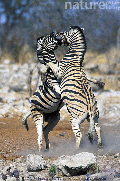 Burchell's Zebra (Equus burchellii) males fighting, Etosha National Park, Namibia, Adult, Burchell's Zebra, Color Image, Competition, Day, Equus burchellii, Etosha National Park, Fighting, Full Length, Interacting, Male, Namibia, Nobody, Outdoors, Photography, Side View, Stallion, Standing, Striped, Two Animals, Vertical, Wildlife, Richard Du Toit