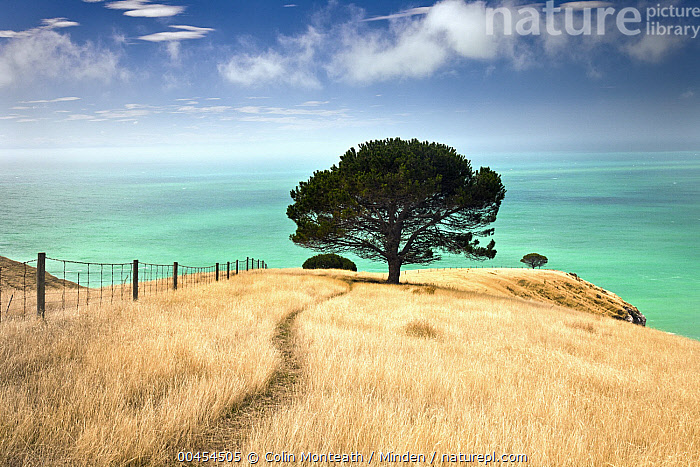 Pine tree (Pinus sp), Decanter Bay, Canterbury, New Zealand  ,  Blue Sky, Canterbury, Coast, Color Image, Day, Decanter Bay, Fence, Horizon, Horizontal, Inspirational, Landscape, Lone, Nature, New Zealand, Nobody, One Object, Outdoors, Path, Photography, Pine, Pinus sp, Solitary, Tranquility, Trail, Tree,Pine, , ,New Zealand  ,  Colin Monteath