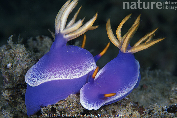 Nudibranch (Hypselodoris bullockii) pair mating, Borneo, Malaysia  ,  Adult, Aposematic Coloration, Borneo, Color Image, Day, Full Length, Hermaphrodite, Horizontal, Hypselodoris bullockii, Malaysia, Mating, Nobody, Nudibranch, Outdoors, Photography, Purple, Side View, Togetherness, Two Animals, Underwater, Wildlife  ,  Hiroya Minakuchi