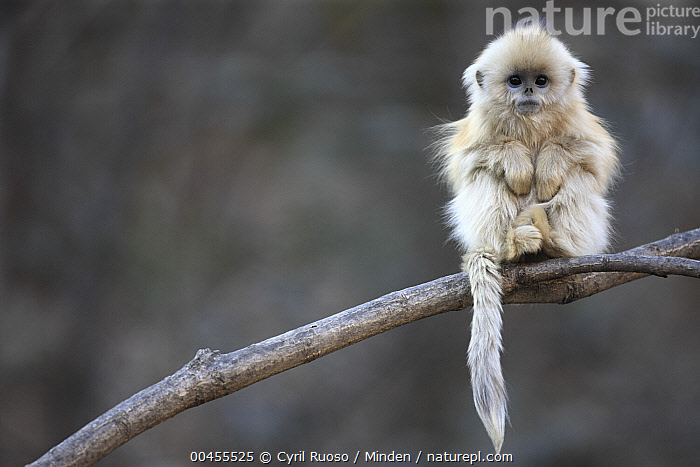 Golden Snub-nosed Monkey (Rhinopithecus roxellana) juvenile, Qinling Mountains, China  ,  Arboreal, Baby, China, Color Image, Cute, Day, Endangered Species, Front View, Full Length, Golden Snub-nosed Monkey, Horizontal, Juvenile, Looking at Camera, Nobody, One Animal, Outdoors, Photography, Qinling Mountains, Rhinopithecus roxellana, Wildlife, Young,Golden Snub-nosed Monkey,China  ,  Cyril Ruoso
