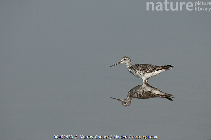 Lesser Yellowlegs (Tringa flavipes) reflected in water, Amazon, Ecuador  ,  Adult, Amazon, Color Image, Day, Ecuador, Full Length, Horizontal, Lesser Yellowlegs, Nobody, One Animal, Outdoors, Photography, Reflection, Shorebird, Side View, Tringa flavipes, Wildlife,Lesser Yellowlegs,Ecuador  ,  Murray Cooper