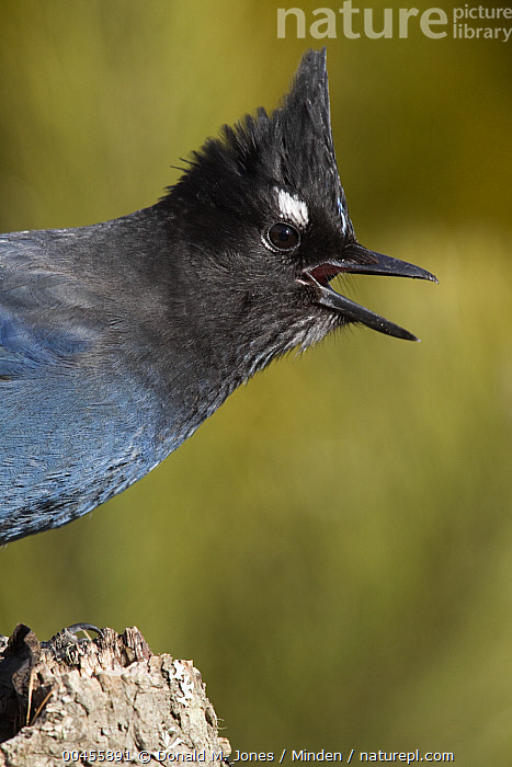 Steller's Jay (Cyanocitta stelleri) calling, western Montana  ,  Adult, Calling, Color Image, Communicating, Cyanocitta stelleri, Day, Head and Shoulders, Montana, Nobody, One Animal, Open Mouth, Outdoors, Photography, Side View, Songbird, Steller's Jay, Vertical, Wildlife,Steller's Jay,Montana, USA  ,  Donald M. Jones