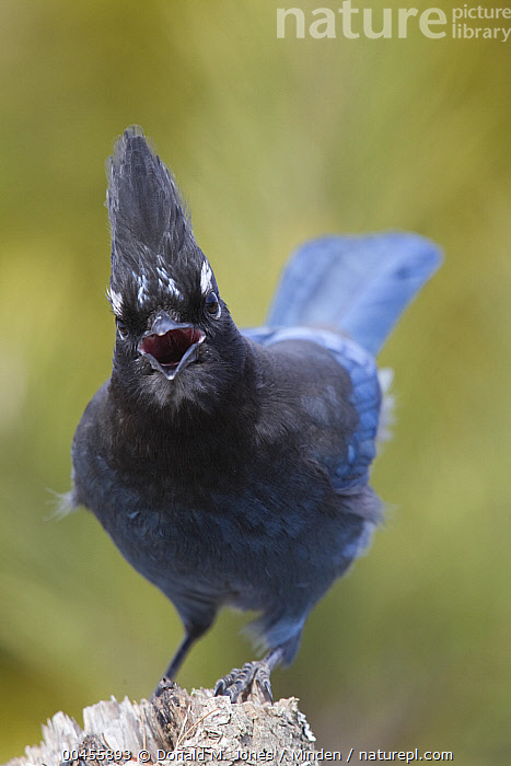 Steller's Jay (Cyanocitta stelleri) calling, western Montana  ,  Adult, Calling, Color Image, Communicating, Cyanocitta stelleri, Day, Front View, Full Length, Looking at Camera, Montana, Nobody, One Animal, Open Mouth, Outdoors, Photography, Songbird, Steller's Jay, Vertical, Wildlife,Steller's Jay,Montana, USA  ,  Donald M. Jones
