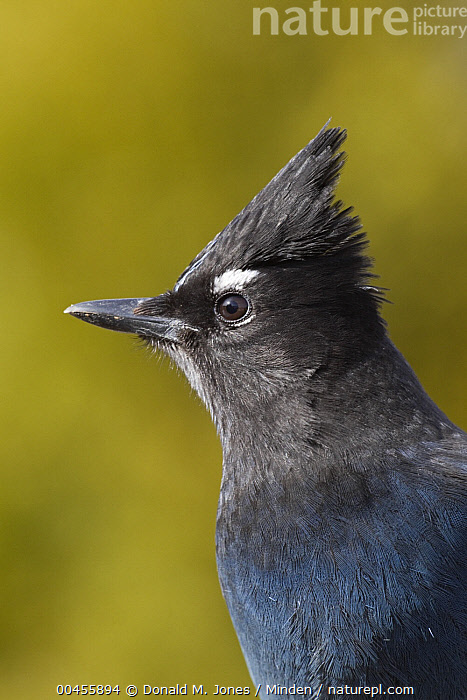 Steller's Jay (Cyanocitta stelleri), western Montana  ,  Adult, Color Image, Cyanocitta stelleri, Day, Head and Shoulders, Montana, Nobody, One Animal, Outdoors, Photography, Portrait, Profile, Side View, Songbird, Steller's Jay, Vertical, Wildlife,Steller's Jay,Montana, USA  ,  Donald M. Jones