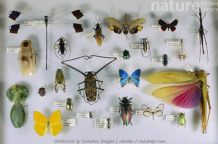 Left to right, from top: Blue Helicopter Damselfly (Megaloprepus coerulatus), Mydas Fly (Mydidae), Saw-nosed Planthopper (Cathedra serrata), Metalmark (Lymnas pixe), Grasshopper (Proscopia panamensis), Giant Cockroach (Blaberus giganteus), Longhorn Beetle (Callona lampros), Scarab Beetle (Phanaeus beltianus), Longhorn Beetle (Taeniotes scalaris), Longhorn Be, Acrocinus longimanus, Antlion, Barro Colorado Island, Beetle, Biodiversity, Blaberus giganteus, Blue Helicopter Damselfly, Bullet Ant, Butterfly, Callona lampros, Callichroma batesi, Cathedra serrata, Choeradodis rhombicollis, Cicada, Collection, Color Image, Damselfly, Day, Evenus regalis, Full Length, Giant Cockroach, Golden Beetle, Golden Scarab Beetle, Grasshopper, Harlequin Beetle, Heilipus tricarinatus, Horizontal, Insect, Katydid, Large Group of Animals, Large Orange Sulphur, Longhorn Beetle, Lophacris gloriosa, Lubber Grasshopper, Male, Mantid, Megaloprepus coerulatus, Metallic Wood-boring Beetle, Metalmark, Millerleon bellulus, Mydas Fly, Mydidae, Nobody, Nymphalid Butterfly, Outdoors, Panama, Paraponera clavata, Peruvian Shield Mantis, Phanaeus beltianus, Phoebis agarithe, Photography, Plusiotis resplendens, Plusiotis sp, Proscopia panamensis, Regal Greatstreak, Rosalia batesi, Saw-nosed Planthopper, Scarab Beetle, Science, Shield Bug, Smithsonian Tropical Research Station, Specimen, Stick Insect, Taeniotes scalaris, Top View, True Weevil, Wildlife,Blue Helicopter Damselfly,Mydas Fly,Mydidae,Panama, Christian Ziegler