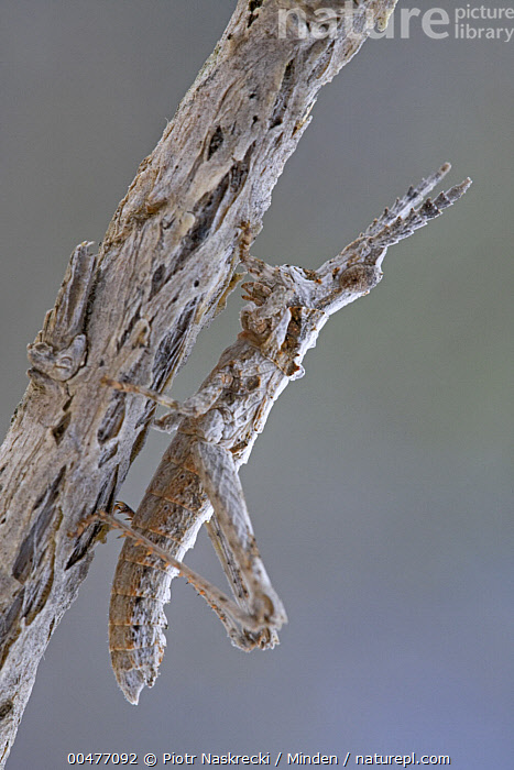 Toad Grasshopper (Geloiomimus nasicus) camouflaged on branch, South Africa  ,  Adult, Camouflage, Color Image, Day, Full Length, Geloiomimus nasicus, Nobody, One Animal, Outdoors, Photography, Relics, Side View, South Africa, Toad Grasshopper, Vertical, Wildlife,Toad Grasshopper,South Africa  ,  Piotr Naskrecki