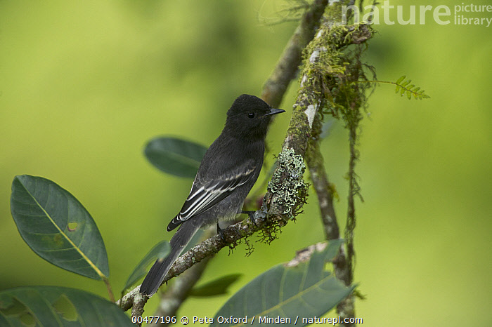 Black Phoebe (Sayornis nigricans) perching on mossy branch, Mindo Cloud Forest, Ecuador  ,  Black Phoebe, Color Image, Day, Ecuador, Full Length, Horizontal, Mindo Cloud Forest, Nobody, One Animal, Outdoors, Photography, Sayornis nigricans, Side View, Wildlife,Black Phoebe,Ecuador  ,  Pete Oxford