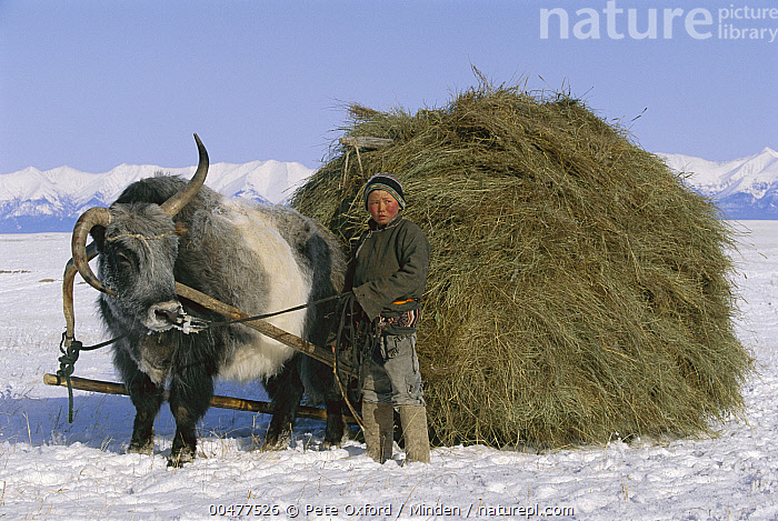 Yak (Bos grunniens mutus) and boy with sled carrying hay, Darkhad Depression, Mongolia, Bos grunniens mutus, Boy, Carrying, Color Image, Darkhad Depression, Day, Domestic Animal, Front View, Full Length, Hay, Horizontal, Looking at Camera, Mongolia, One Animal, One Person, Outdoors, Photography, Side View, Snow, Winter, Yak,Yak,Mongolia, Pete Oxford