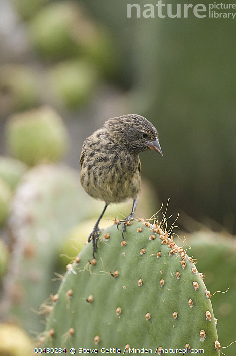 Sharp-beaked Ground-Finch (Geospiza difficilis) female on cactus, Galapagos Islands, Ecuador, Adult, Color Image, Day, Ecuador, Female, Front View, Full Length, Galapagos Islands, Geospiza difficilis, Nobody, One Animal, Outdoors, Photography, Sharp-beaked Ground-Finch, Songbird, Vertical, Wildlife,Sharp-beaked Ground-Finch,Ecuador, Steve Gettle
