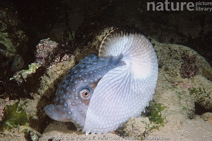 Paper Nautilus (Argonauta nodosa) on sand bottom, Port Phillip Bay, Victoria, Australia, Adult, Argonauta nodosa, Australia, Color Image, Day, Full Length, Horizontal, Nobody, One Animal, Outdoors, Paper Nautilus, Photography, Port Phillip Bay, Side View, Underwater, Victoria, Wildlife,Paper Nautilus,Australia, D. Parer & E. Parer-Cook