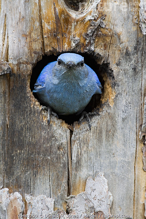 Mountain Bluebird (Sialia currucoides) male in nest cavity, Troy, Montana, Adult, Color Image, Day, Front View, Full Length, Looking at Camera, Male, Montana, Mountain Bluebird, Nest Cavity, Nobody, One Animal, Outdoors, Photography, Sialia currucoides, Songbird, Troy, Vertical, Wildlife,Mountain Bluebird,Montana, USA, Donald M. Jones