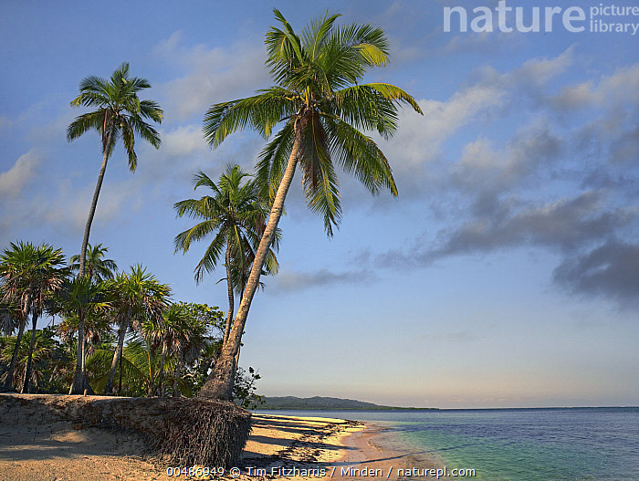 Palm trees, Palmetto Bay, Roatan Island, Honduras  ,  Beach, Blue Sky, Coast, Color Image, Day, Harmony, Honduras, Horizon, Horizontal, Landscape, Mother Nature, Nobody, Outdoors, Palm, Palmetto Bay, Photography, Roatan Island,Honduras  ,  Tim Fitzharris