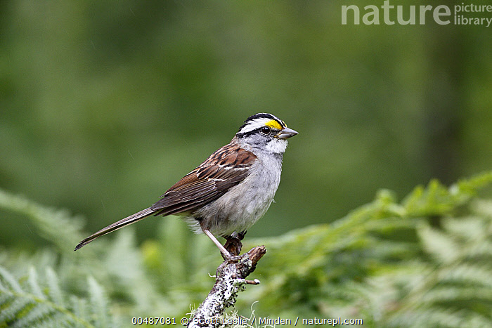 White-throated Sparrow (Zonotrichia albicollis), Canada  ,  Adult, Canada, Color Image, Day, Full Length, Horizontal, Nobody, One Animal, Outdoors, Photography, Side View, Songbird, White-throated Sparrow, Wildlife, Zonotrichia albicollis,White-throated Sparrow,Canada  ,  Scott Leslie