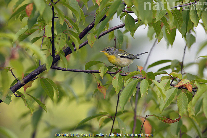 Northern Parula (Setophaga americana) in autumn, Canada  ,  Adult, Autumn, Canada, Color Image, Day, Full Length, Horizontal, Nobody, Northern Parula, One Animal, Outdoors, Photography, Setophaga americana, Side View, Songbird, Wildlife,Northern Parula,Canada  ,  Scott Leslie