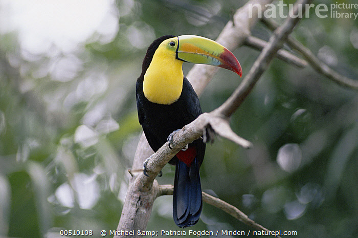 Keel-billed Toucan (Ramphastos sulfuratus) perched in tree, Costa Rican rainforest  ,  Beak, Color Image, Costa Rica, Day, Forest Habitat, Full Length, Horizontal, Keel-billed Toucan, Nobody, One Animal, Perching, Photography, Profile, Rainforest, Ramphastos sulfuratus, Side View, Toucan, Wildlife,Keel-billed Toucan,Costa Rica,Beak, Color Image, Costa Rica, Day, Forest Habitat, Full Length, Horizontal, Keel-billed Toucan, Nobody, One Animal, Perching, Photography, Profile, Rainforest, Ramphastos sulfuratus, Side View, Toucan, Wildlife  ,  Michael & Patricia Fogden