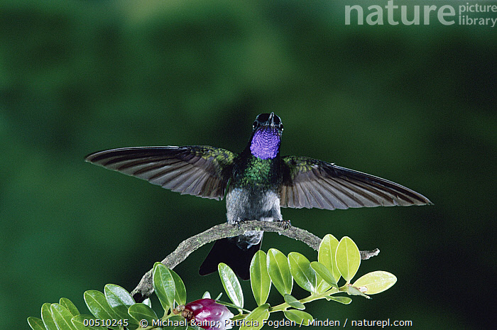 Purple-throated Mountain-gem (Lampornis calolaemus) hummingbird male, cloud forest, Costa Rica  ,  Close Up, Cloud Forest, Color Image, Costa Rica, Day, Front View, Full Length, High Speed, Horizontal, Hummingbird, Iridescent, Lampornis calolaemus, Looking at Camera, Male, Nobody, One Animal, Photography, Purple-throated Mountain-gem, Tropical Rainforest, Wildlife,Purple-throated Mountain-gem,Costa Rica  ,  Michael & Patricia Fogden