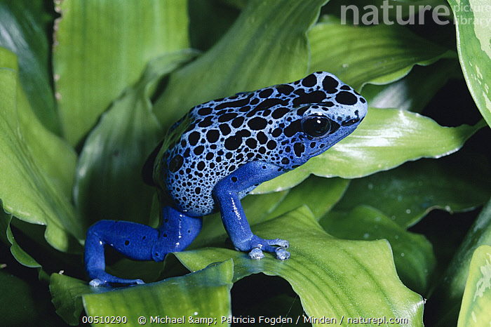 Blue Poison Dart Frog (Dendrobates azureus) very tiny frog used by Indian tribes to poison tips of arrows, native to South America  ,  Blue, Blue Poison Frog, Captive, Close Up, Color Image, Dart-poison frog, Dendrobates azureus, Frog, Full Length, Horizontal, Nobody, One Animal, Photography, Poison Arrow, Poisonous, Side View, Wildlife,Blue Poison Dart Frog,Blue, Blue Poison Frog, Captive, Close Up, Color Image, Dart-poison frog, Dendrobates azureus, Frog, Full Length, Horizontal, Nobody, One Animal, Photography, Poison Arrow, Poisonous, Side View, Wildlife  ,  Michael & Patricia Fogden