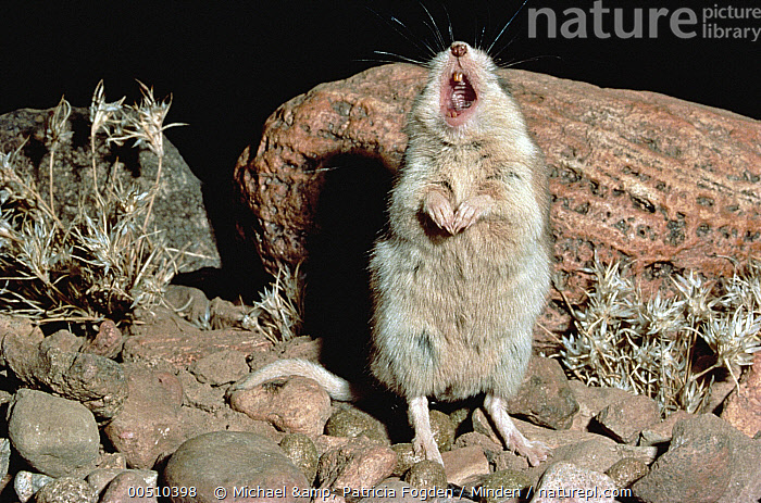 Southern Grasshopper Mouse (Onychomys torridus) male singing on its territory, Chihuahua Desert, Mexico  ,  Calling, Chihuahuan Desert, Close Up, Color Image, Communicating, Day, Desert, Front View, Full Length, Horizontal, Male, Mexico, Mouse, Nobody, One Animal, Onychomys torridus, Open Mouth, Photography, Singing, Southern Grasshopper Mouse, Territoriality, Wildlife,Southern Grasshopper Mouse,Mexico  ,  Michael & Patricia Fogden