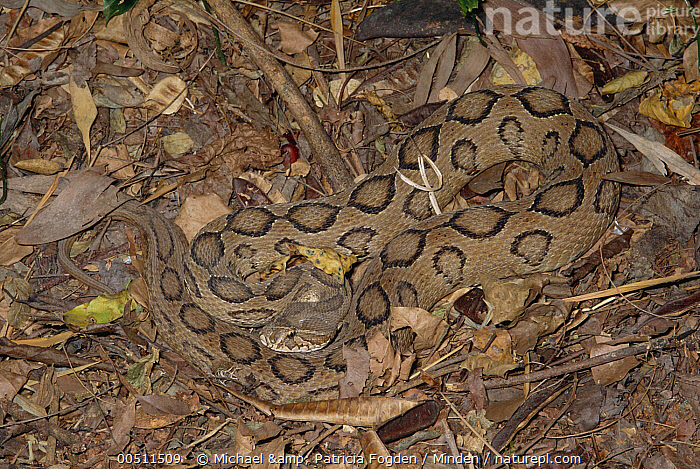 Russell's Viper (Daboia russelii) venomous snake camouflaged against ground, India  ,  Camouflage, Circle, Color Image, Daboia russelii, Full Length, High Angle View, Horizontal, India, Leaf Litter, Nobody, One Animal, Pattern, Photography, Russell's Viper, Venomous, Wildlife,Russell's Viper,India,Camouflage, Circle, Color Image, Daboia russelii, Full Length, High Angle View, Horizontal, India, Leaf Litter, Nobody, One Animal, Pattern, Photography, Russell's Viper, Venomous, Wildlife  ,  Michael & Patricia Fogden