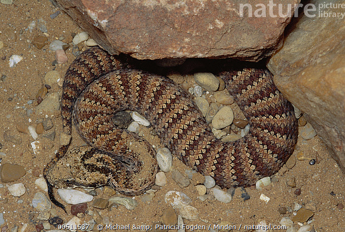 Death Adder (Acanthophis antarcticus) venomous snake uses tail to lure prey, captive, Australia  ,  Acanthophis antarcticus, Australia, Captive, Color Image, Death Adder, Desert, High Angle View, Horizontal, Luring, Nobody, One Animal, Pattern, Photography, Predator, Striped, Tail, Venomous, Wildlife,Death Adder,Australia,Acanthophis antarcticus, Australia, Captive, Color Image, Death Adder, Desert, High Angle View, Horizontal, Luring, Nobody, One Animal, Pattern, Photography, Predator, Striped, Tail, Venomous, Wildlife  ,  Michael & Patricia Fogden