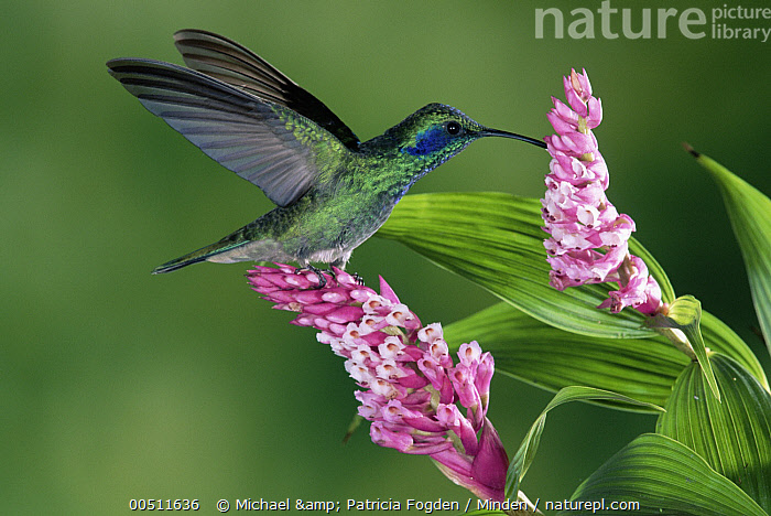 Green Violet-ear (Colibri thalassinus) hummingbird feeding at and pollinating epiphytic Orchid (Elleanthus sp), Costa Rica  ,  Close Up, Colibri thalassinus, Color Image, Costa Rica, Day, Eating, Elleanthus sp, Flower, Full Length, Green Violet-ear, High Speed, Horizontal, Hovering, Hummingbird, Nobody, One Animal, Orchid, Photography, Pollinating, Side View, Wildlife,Green Violet-ear,Orchid,Elleanthus sp,Costa Rica  ,  Michael & Patricia Fogden