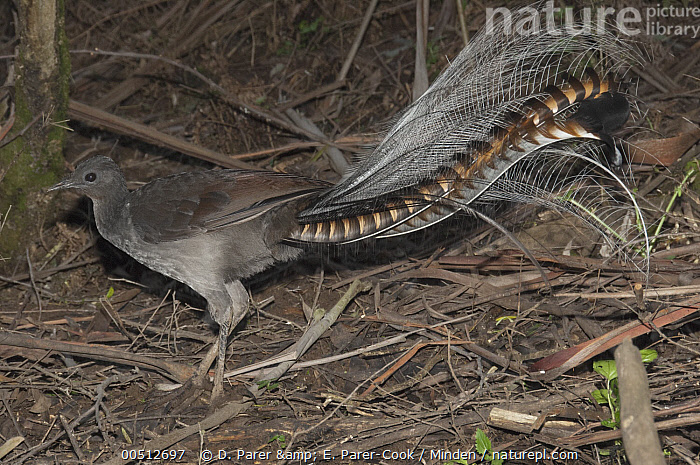 Superb Lyrebird (Menura novaehollandiae) male looking for worms and small insects on forest floor, Sherbrooke Forest Park, Victoria, Australia, Adult, Australia, Color Image, Day, Foraging, Full Length, Horizontal, Male, Menura novaehollandiae, Nobody, One Animal, Outdoors, Photography, Sherbrooke Forest Park, Side View, Songbird, Superb Lyrebird, Tail, Victoria, Wildlife,Superb Lyrebird,Australia, D. Parer & E. Parer-Cook