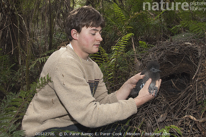 Superb Lyrebird (Menura novaehollandiae) chick held near nest by researcher, Sherbrooke Forest Park, Victoria, Australia, Adult, Australia, Caucasian Appearance, Chick, Color Image, Day, Down Feather, Front View, Full Length, Horizontal, Male, Menura novaehollandiae, Nest, One Animal, One Person, Outdoors, Photography, Researcher, Sherbrooke Forest Park, Side View, Songbird, Superb Lyrebird, Victoria, Wildlife, Young Adult,Superb Lyrebird,Australia, D. Parer & E. Parer-Cook