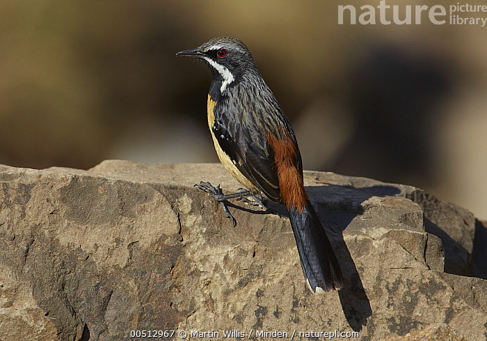 Orange-breasted Rockjumper (Chaetops aurantius) male perched on a rock, Sani Pass, Drakensberg, South Africa, Adult, Chaetops aurantius, Color Image, Day, Drakensberg, Full Length, Horizontal, Male, Nobody, One Animal, Orange-breasted Rockjumper, Outdoors, Photography, Side View, Songbird, South Africa, Wildlife,Orange-breasted Rockjumper,South Africa, Martin Willis